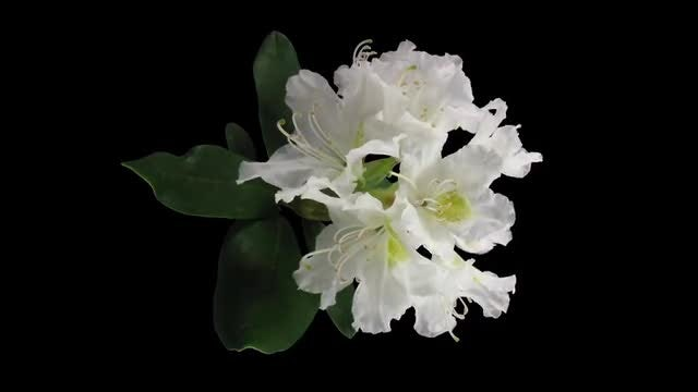 White Rhododendron Blooming: Stock Video