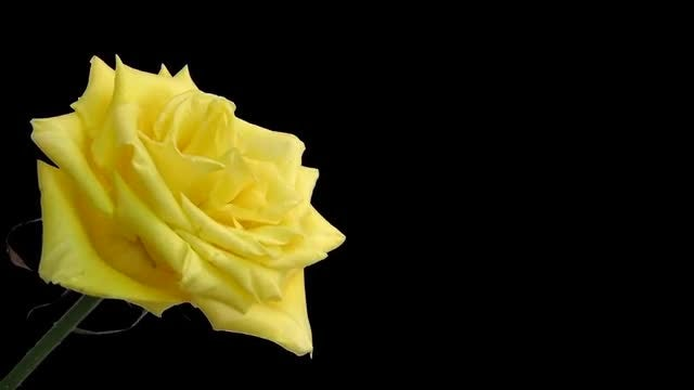 Time-lapse of opening yellow rose: Stock Video