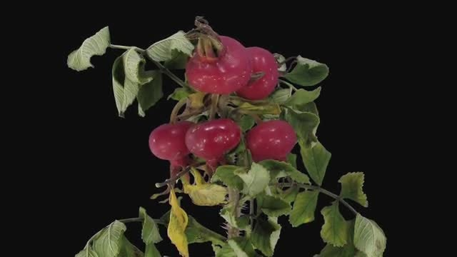Rosa Rubiginosa Branch Dying: Stock Video