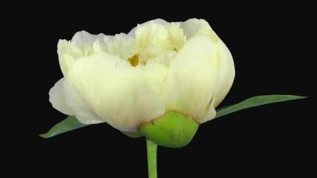 White Peony Flower Opening: Stock Video