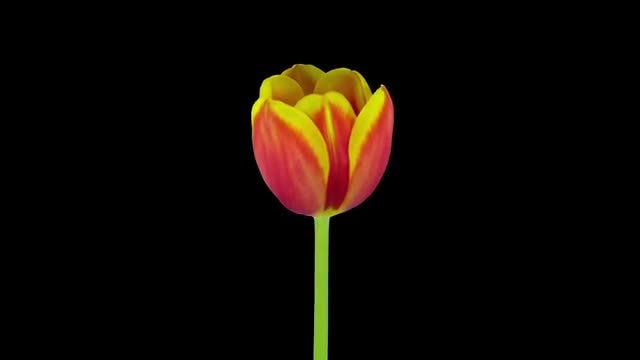 Red-yellow Tulip Growing: Stock Video