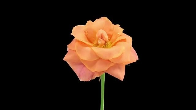Orange Bonanza Rose Dying: Stock Video