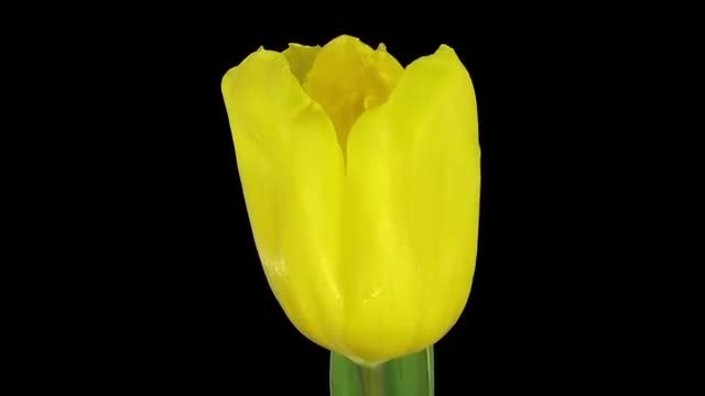 Yellow Tulip Growing And Opening: Stock Video
