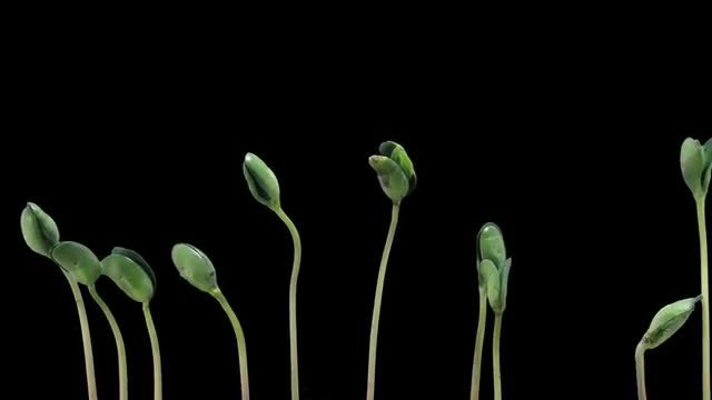 Time Lapse Of Growing Soybeans: Stock Video