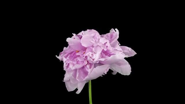 Pink Peony Flower Dying: Stock Video