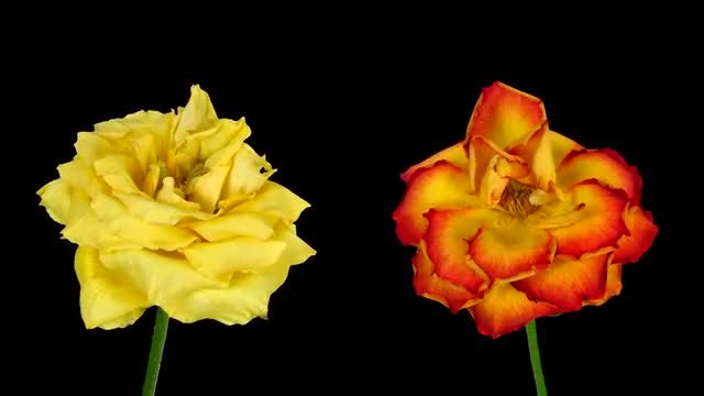 Yellow And Orange Roses Dying: Stock Video