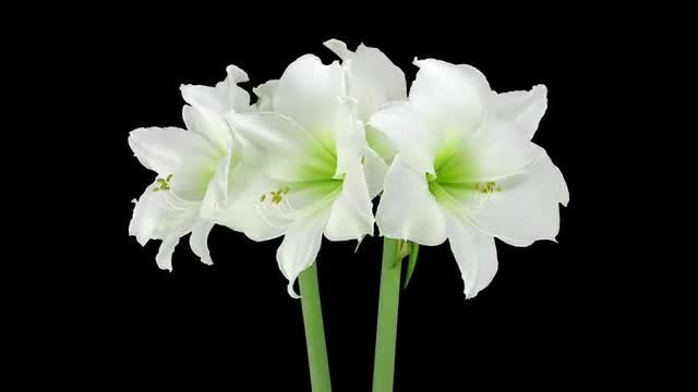 Amaryllis Arctic White Flowers Rotating: Stock Video