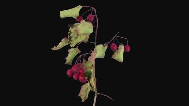 Hawthorn Branch With Berries Dying: Stock Video