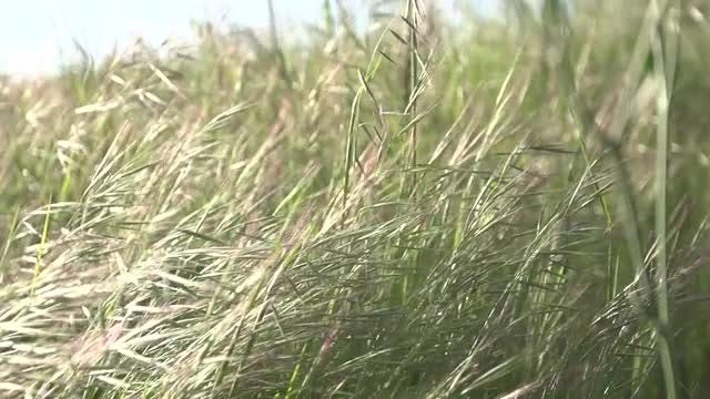 Grass Swaying In The Wind : Stock Video