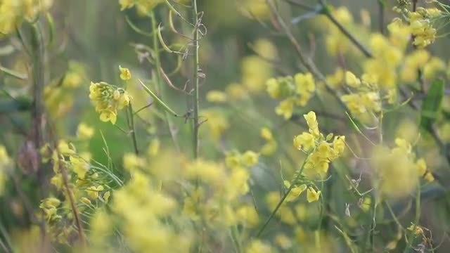 Yellow Flowers Swaying In Wind: Stock Video