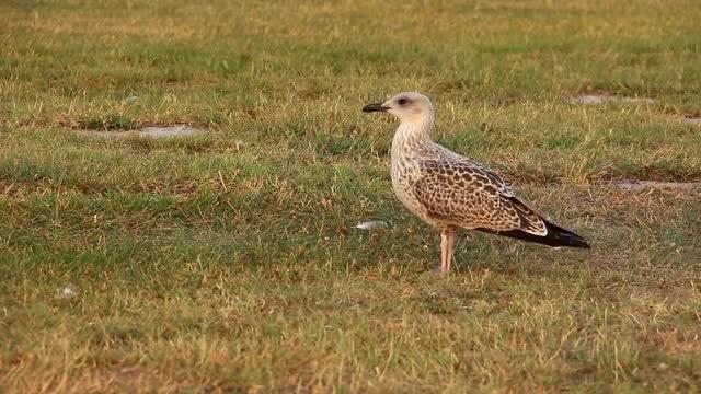 Cute Birds Walking On Grass: Stock Video