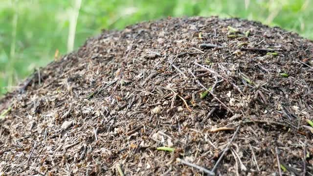 Ants Moving On An Anthill: Stock Video