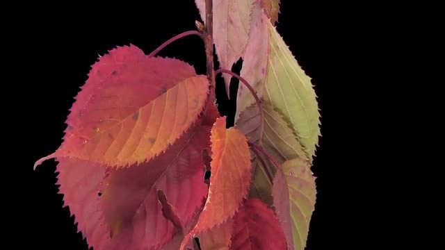 Colorful Autumn Leaves Drooping: Stock Video