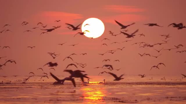 Flock Of Geese At Sunrise: Stock Video
