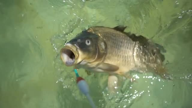 Fish Hooked A Fishing Line: Stock Video
