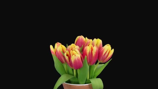 Tulips Growing In A Vase: Stock Video