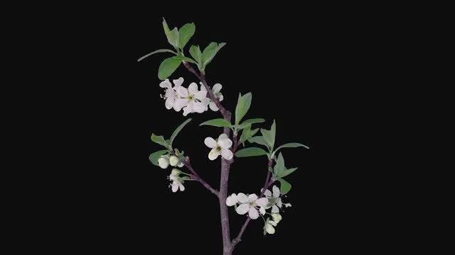 Blooming Plum Tree Branch: Stock Video