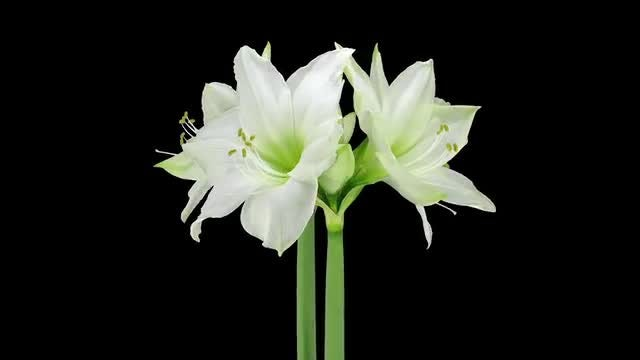 Rotating White Amaryllis/ Easter Lily: Stock Video
