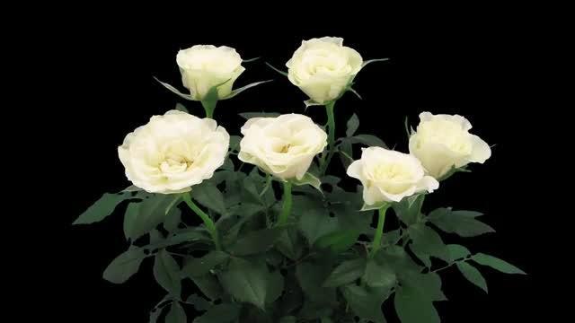 White Roses Bloom In Vase: Stock Video