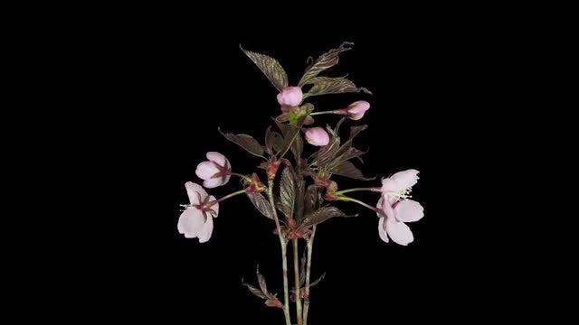 Pink Sakura Plant Blossoming: Stock Video