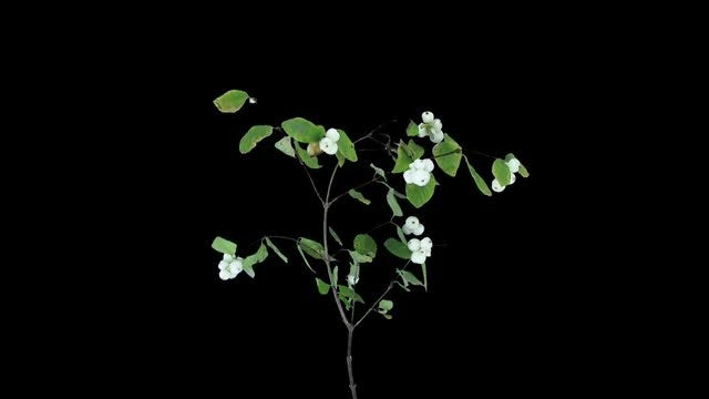 Snowberry Branch With Flowers Drying: Stock Video