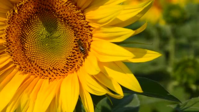 Bee Collecting Nectar From Sunflower: Stock Video