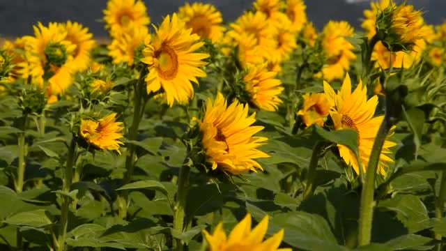 Sunflower Farm With Bees: Stock Video