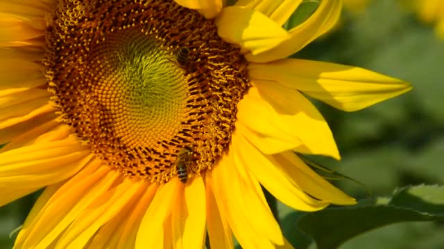 Bees On A Yellow Sunflower: Stock Video