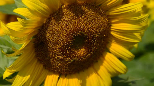 Bees On A Sunflower: Stock Video