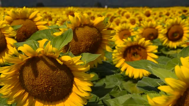 Large Sunflower Farm With Bees: Stock Video