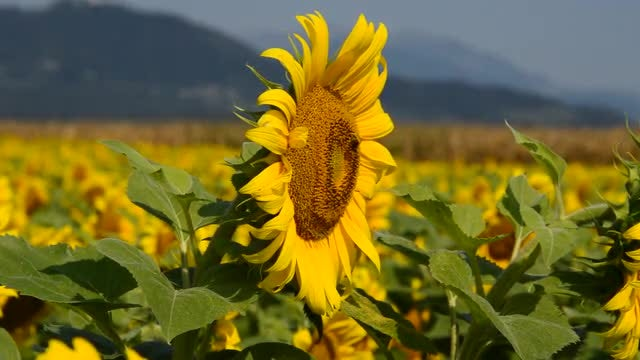 Expansive Sunflower Farm In Countryside: Stock Video
