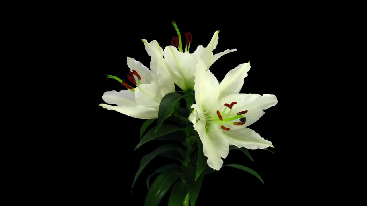 White Stargazer Lily Growing Rotating Stock Video Motion Array