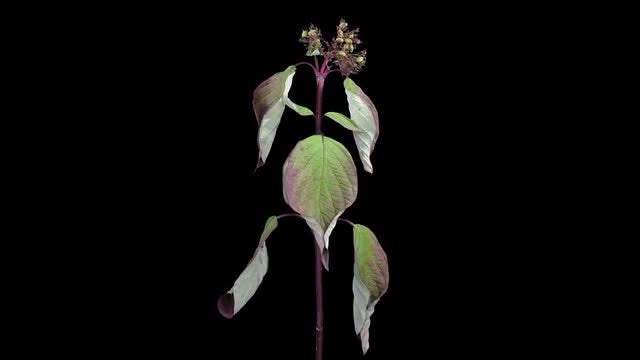 Shrub Branch With Leaves Drying: Stock Video