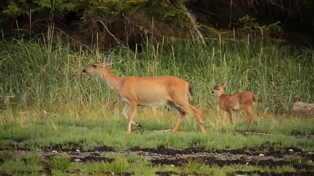 Mama And Baby Deer: Stock Video