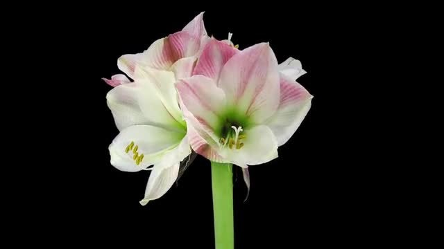 Four Amaryllis Apple Blossoms Open: Stock Video