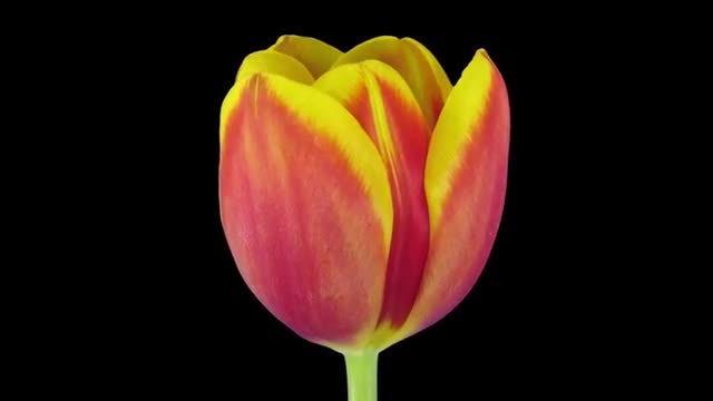 Rotating Red-Yellow Tulip: Stock Video