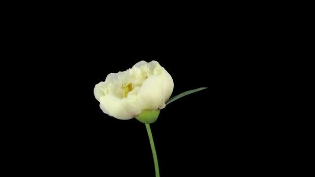 White Peony Opening Time Lapse: Stock Video