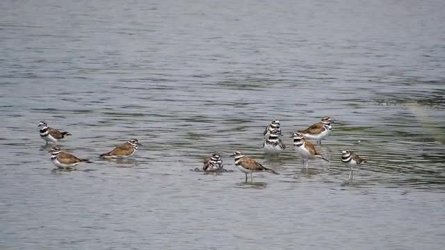 Killdeer Birds In The Water: Stock Video