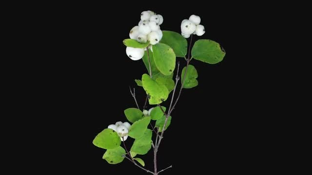 Shrub Branch With White Flowers: Stock Video