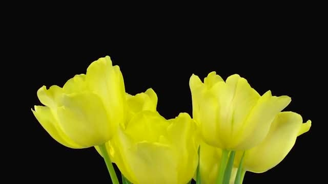 Bouquet Of Yellow Tulips Growing: Stock Video