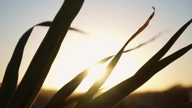 Sunset Behind Swaying Grass Silhouette: Stock Video