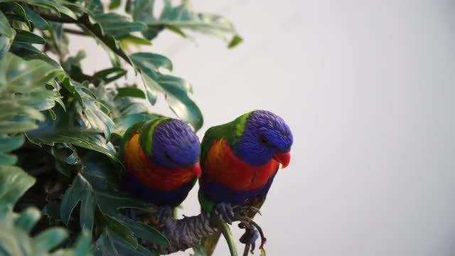 Australian Rainbow Lorikeets Perched: Stock Video