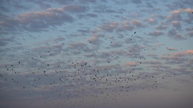 Flock Flying Over Spooky Sky: Stock Video