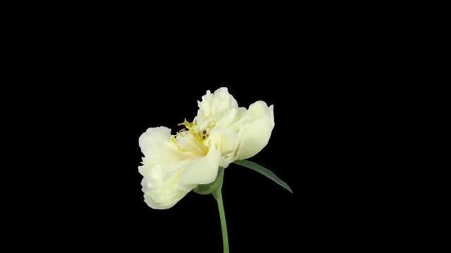 White Peony Drying And Rotating: Stock Video