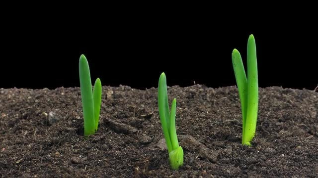 Time Lapse Of Onions Germinating: Stock Video