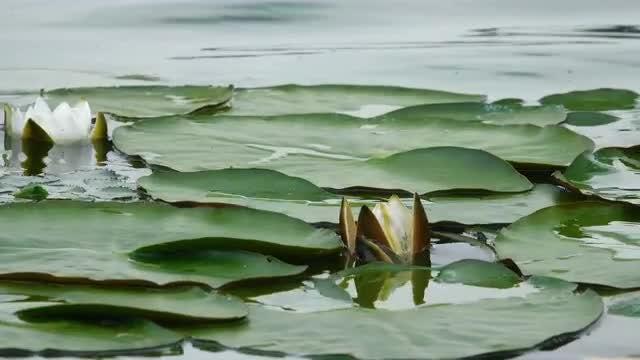 Lotus Flower Growing In Water Stock Video Motion Array