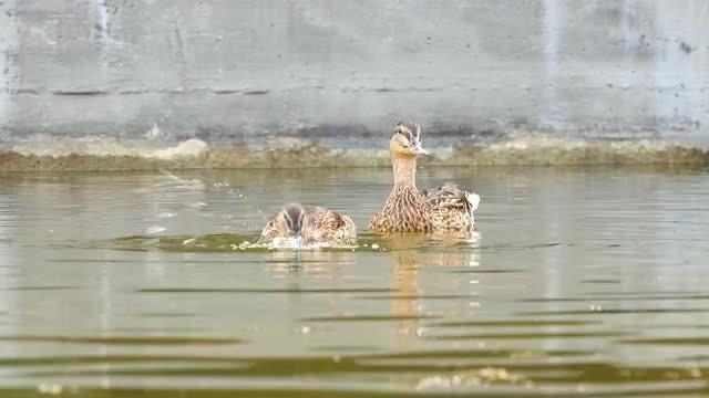 Brown Ducks Swim On Pond: Stock Video