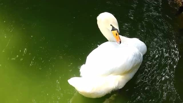 White Swan Nibbling Its Wings: Stock Video