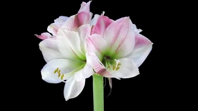 Amaryllis Apple Blossom Flower Opening: Stock Video
