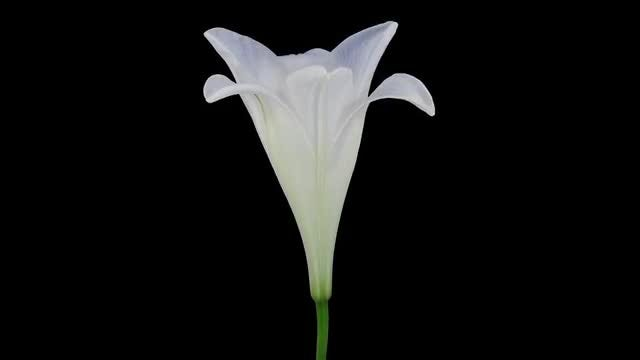 White Easter Lily Opening: Stock Video